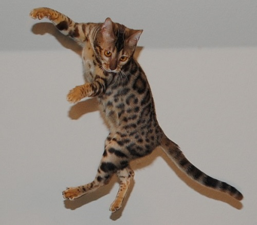 Chalk Mountain Bengals Texas Bengal Breeder Located in N